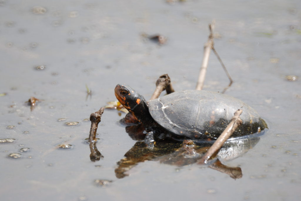 A spotted turtle sitting in the water.