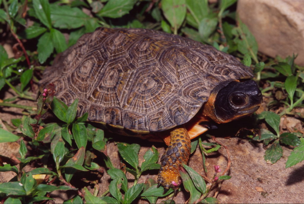 A wood turtle surrounded by leaves.
