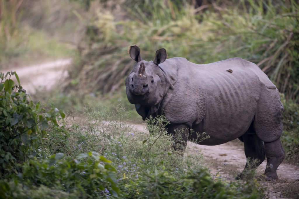 A rhino standing on a trail.