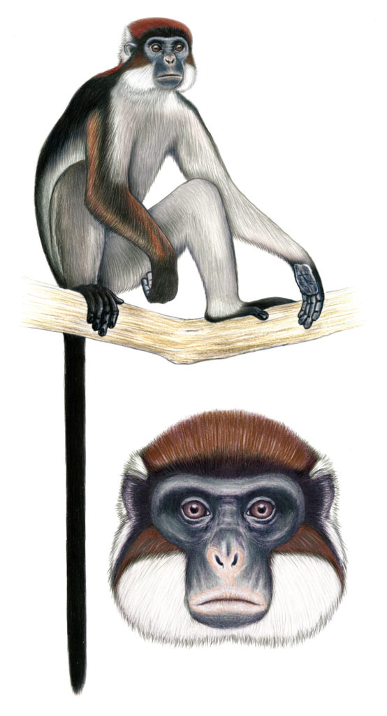 An illustration of a Semliki Red Colobus