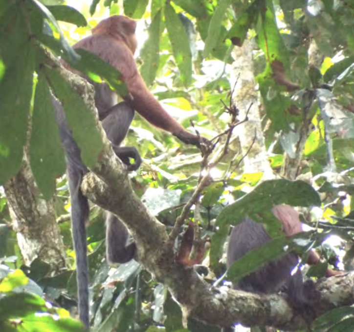 Two Kisangani Red Colobus sitting in a tree