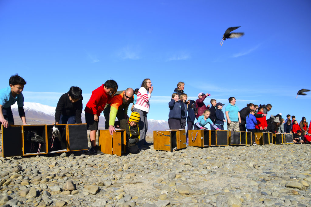 Kaki being released to the wild in Godley Valley by classes from Twizel Area, Arowhenua and Tekapo schools.
