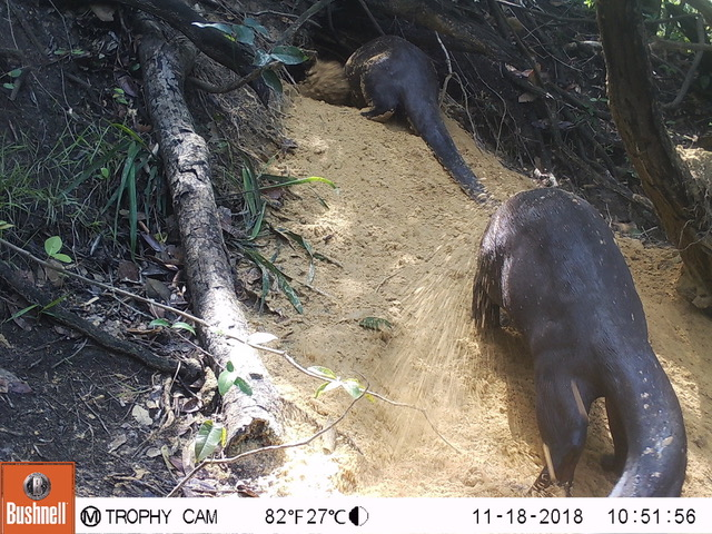 Camera trap photo of Giant Otters