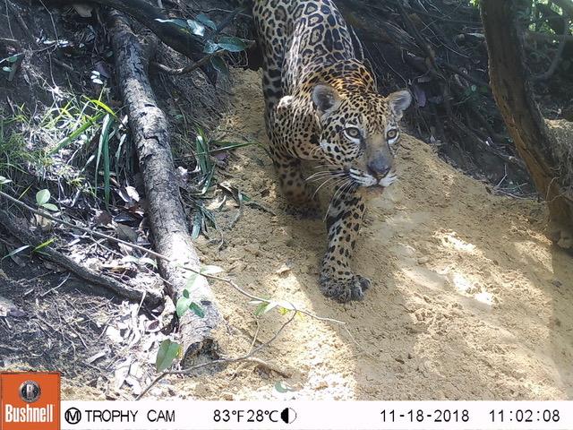 A camera trap photo of a jaguar.