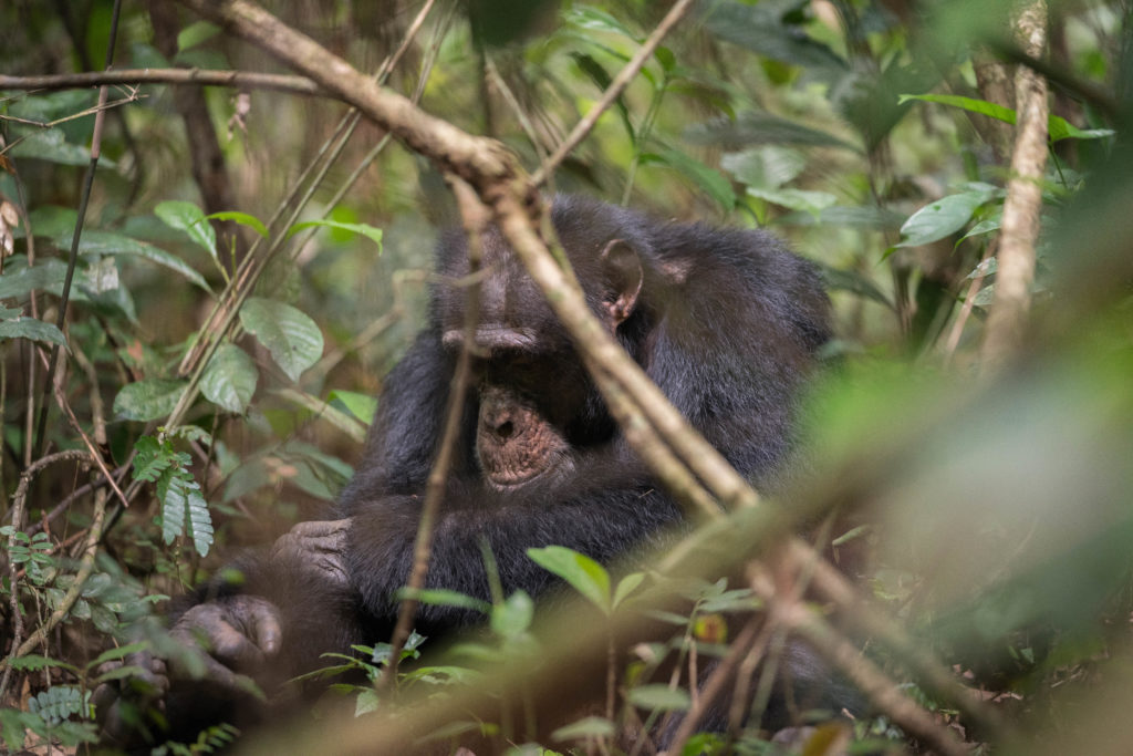 A Western Chimpanzee photographed through dense forest.