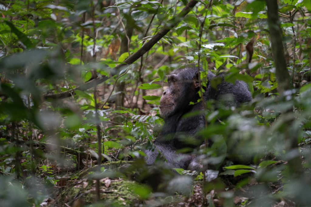 A Western Chimpanzee photographed in a forest, partially hidden behind leaves.