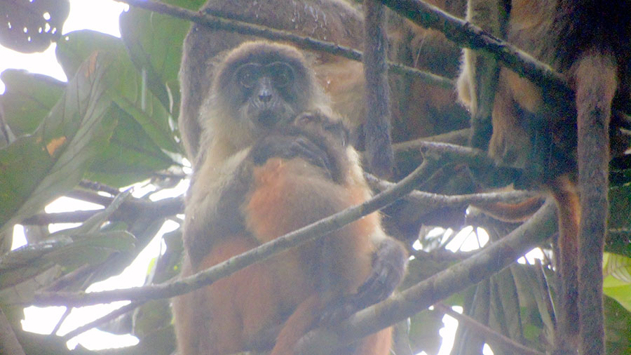 Niger Delta red colobus sitting in a tree holding a baby, surrounded by other members of the group.