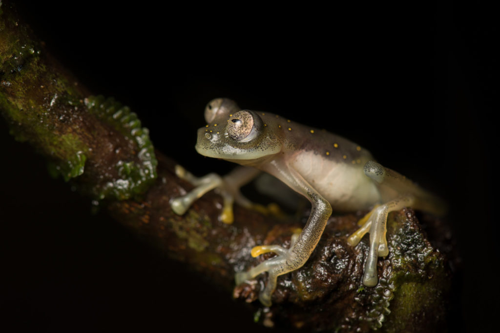 A Manduriacu Glass Frog, with a nearly translucent belly and yellow dots on its back, sitting on a branch.
